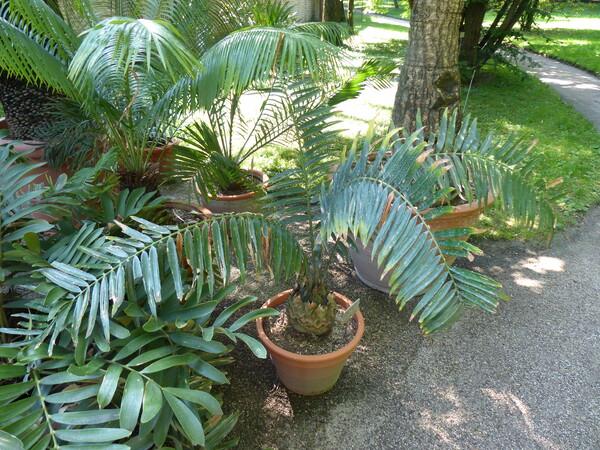 Encephalartos gratus Prain