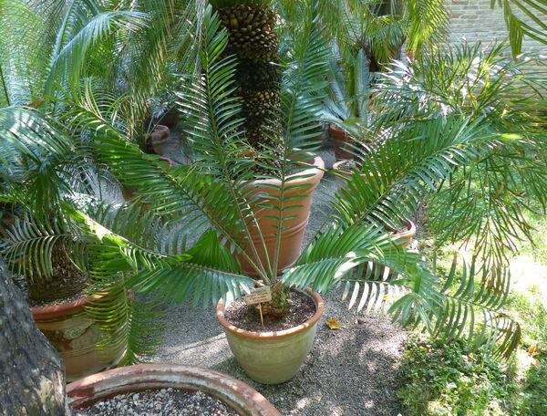 Encephalartos sclavoi De Luca, D.W.Stev. & A.Moretti