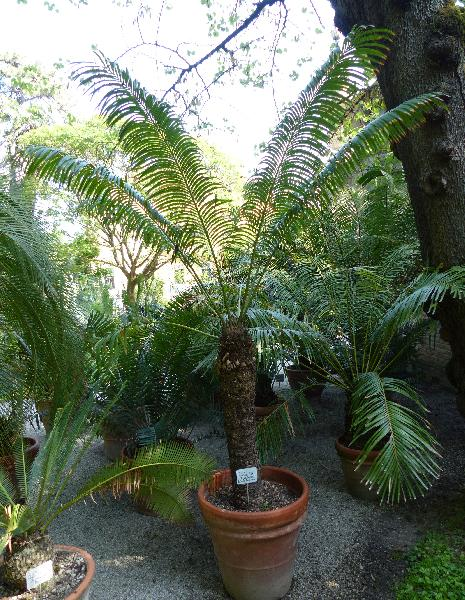 Cycas thouarsii R.Br.