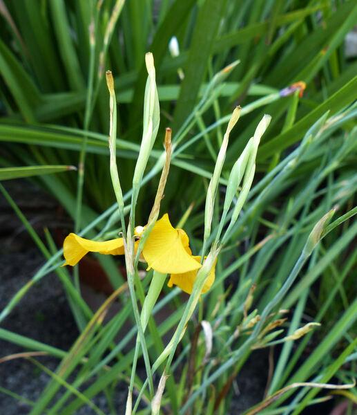 Cypella herbertii (Lindl.) Herb.