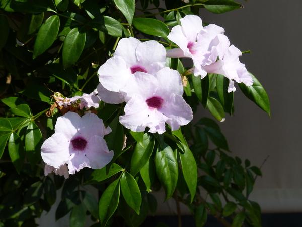 Pandorea jasminoides (Lindl.) K.Schum.