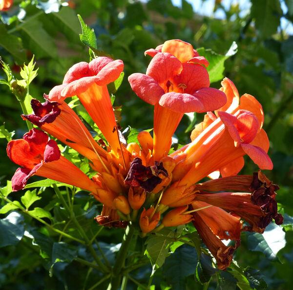 Campsis grandiflora (Thunb.) Schum.