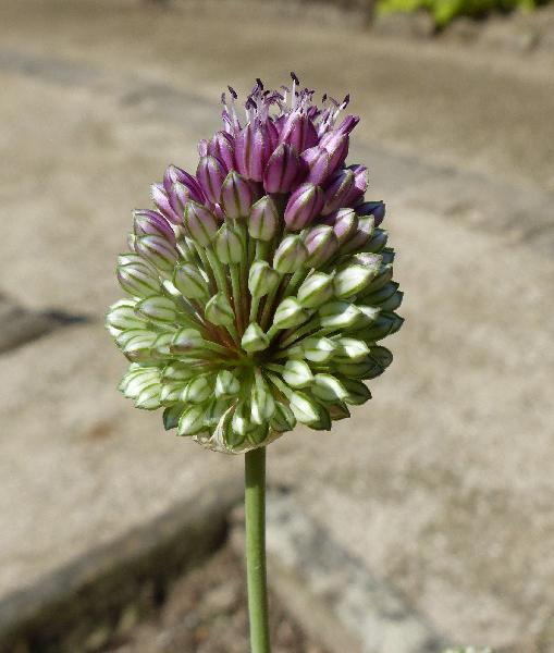 Allium suaveolens Jacq.