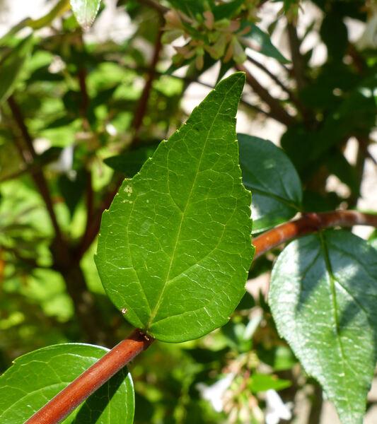 Abelia x grandiflora (Rovelli ex André) Rehder