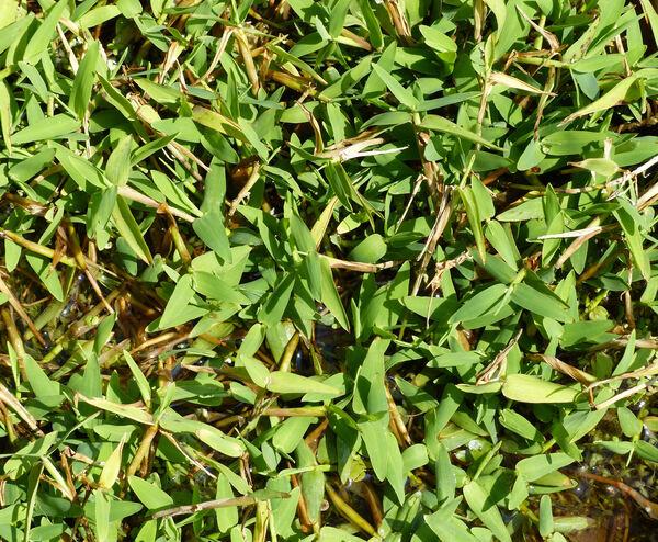 Hygroryza aristata (Retz.) Nees