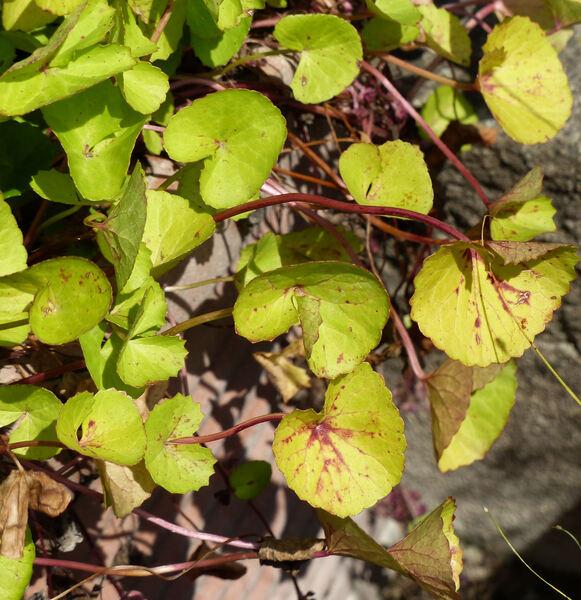 Centella asiatica (L.) Urban