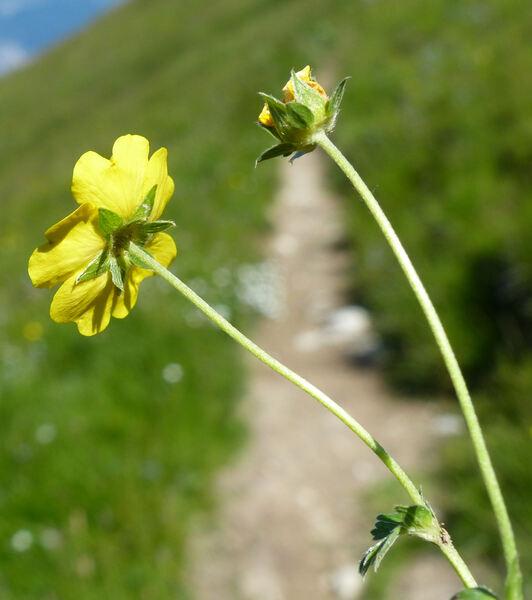 Potentilla aurea L. subsp. aurea