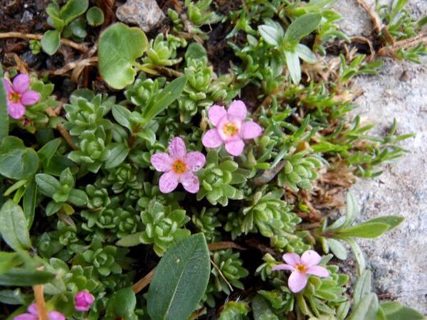 Androsace alpina (L.) Lam.