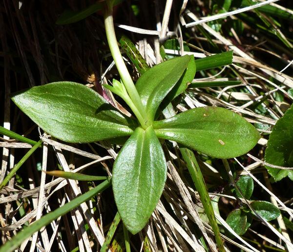 Gentiana verna L. subsp. verna