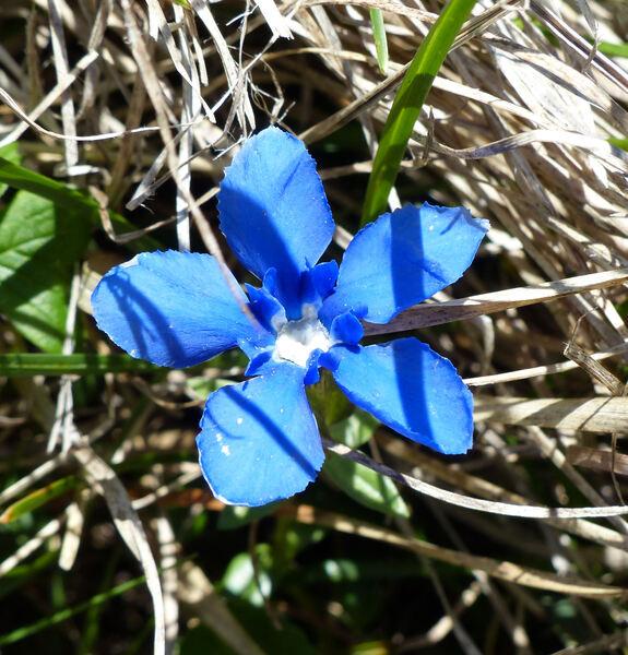 Gentiana verna L.