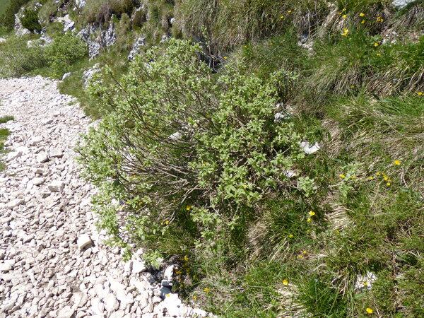 Salix hastata L.