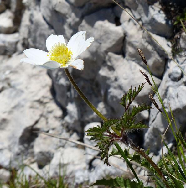 Pulsatilla alpina (L.) Delarbre subsp. austroalpina D.M.Moser