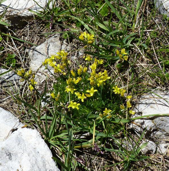 Draba aizoides L. subsp. aizoides