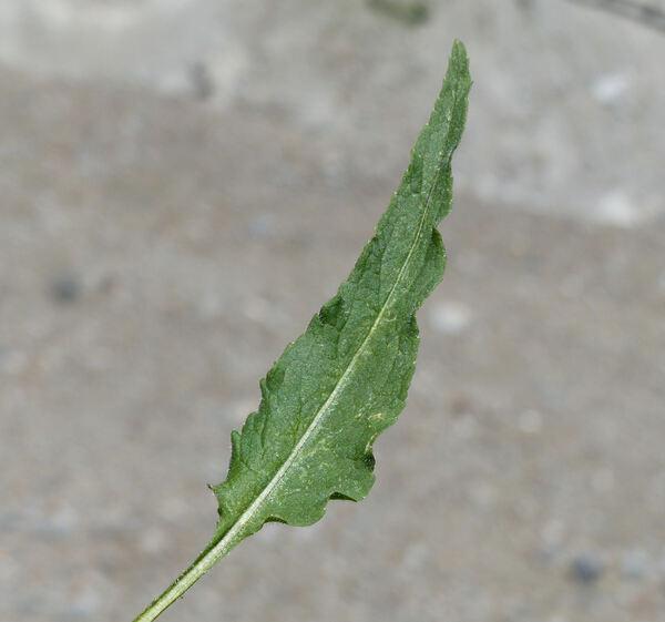 Phyteuma betonicifolium Vill.