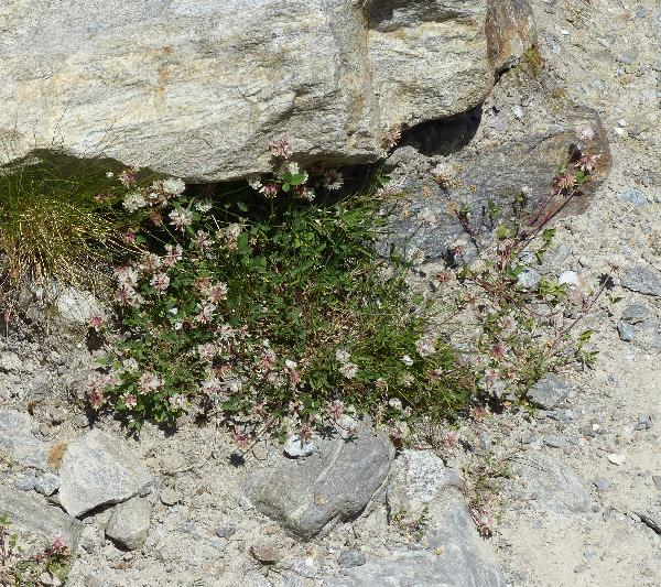 Trifolium hybridum L. subsp. hybridum