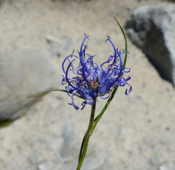 Phyteuma hemisphaericum L.