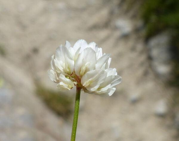 Trifolium thalii Vill.