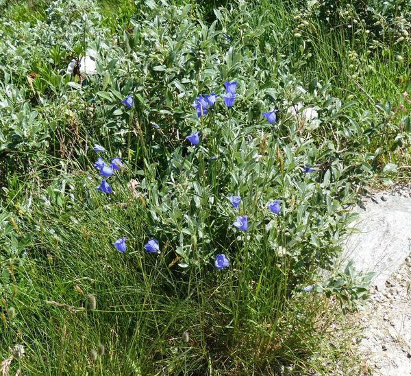 Campanula scheuchzeri Vill. subsp. scheuchzeri