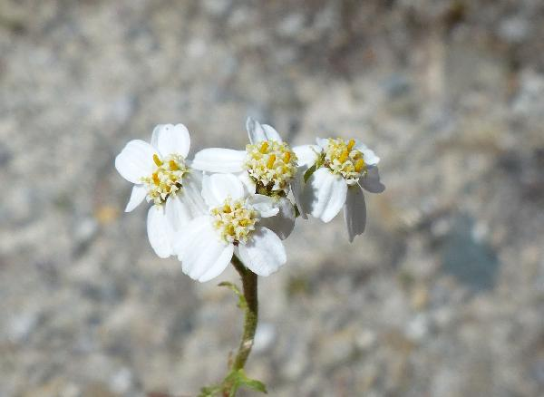 Achillea erba-rotta All. subsp. moschata (Wulfen) I.Richardson