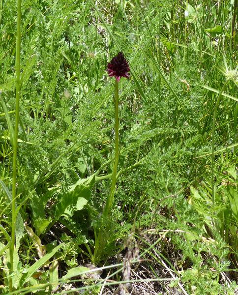 Nigritella nigra (L.) Rchb.
