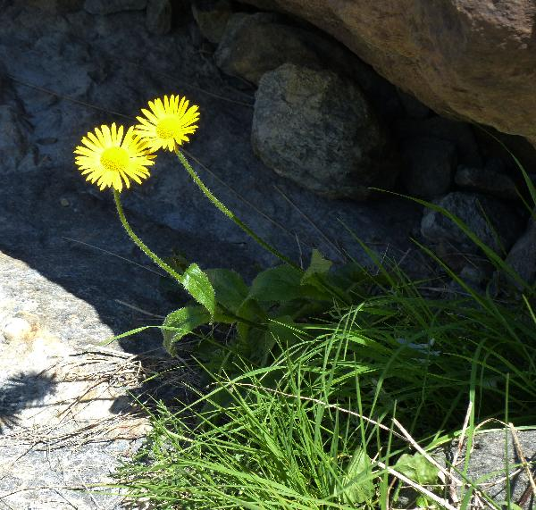 Doronicum clusii (All.) Tausch