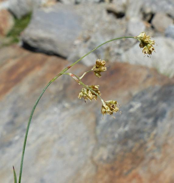 Luzula lutea (All.) DC. subsp. lutea