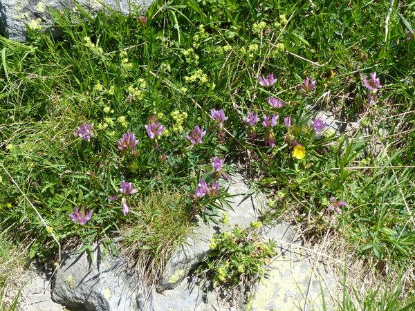 Trifolium alpinum L.