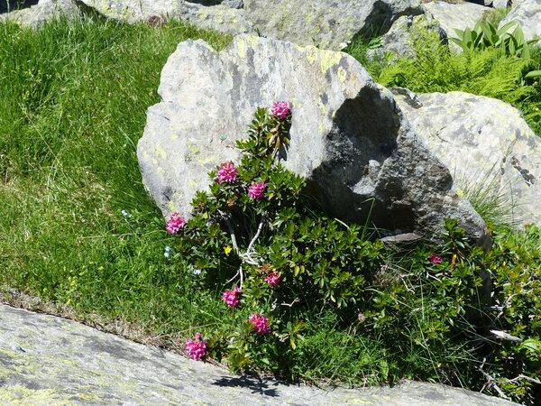 Rhododendron ferrugineum L.