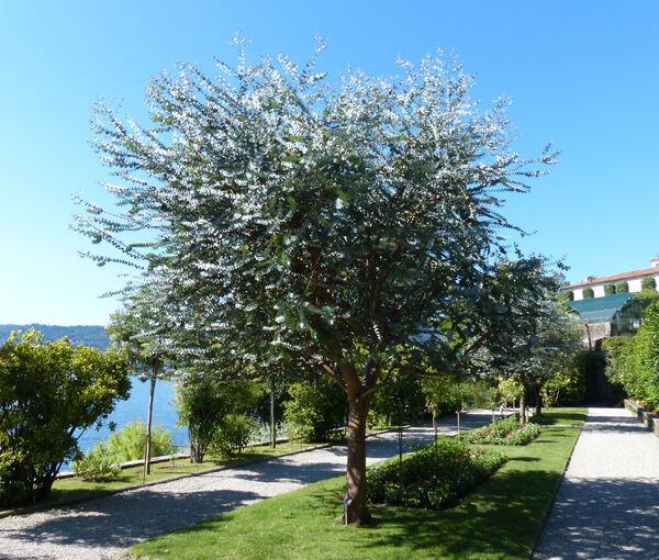 Eucalyptus pulverulenta Sims