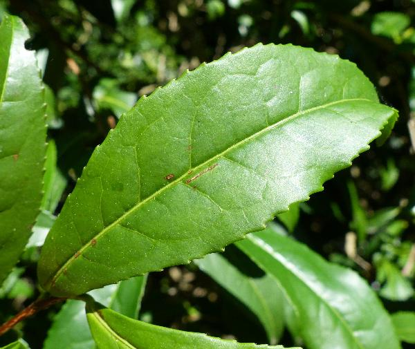 Camellia sinensis (L.) O.Kuntze