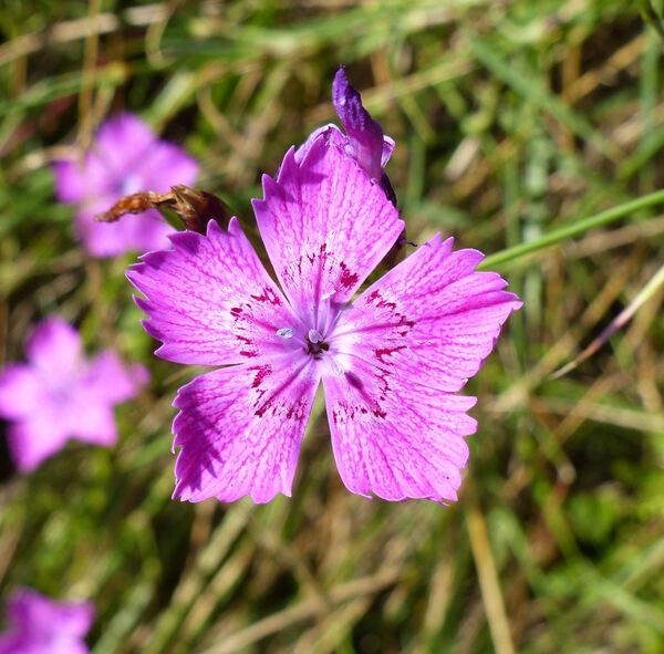 Dianthus balbisii Ser. subsp. balbisii