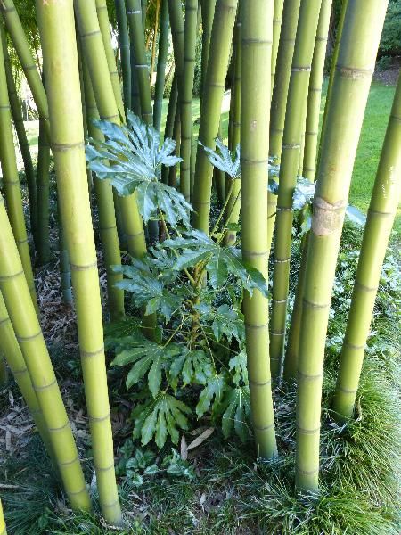 Fatsia japonica (Thunb.) Decne. & Planch.