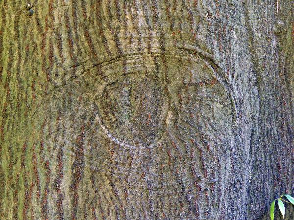 Quercus myrsinifolia Blume