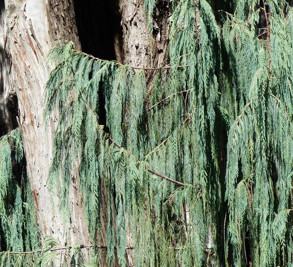 Cupressus cashmeriana Carrière 'Glauca'