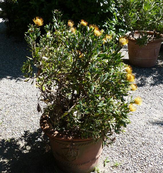 Leucospermum sp.