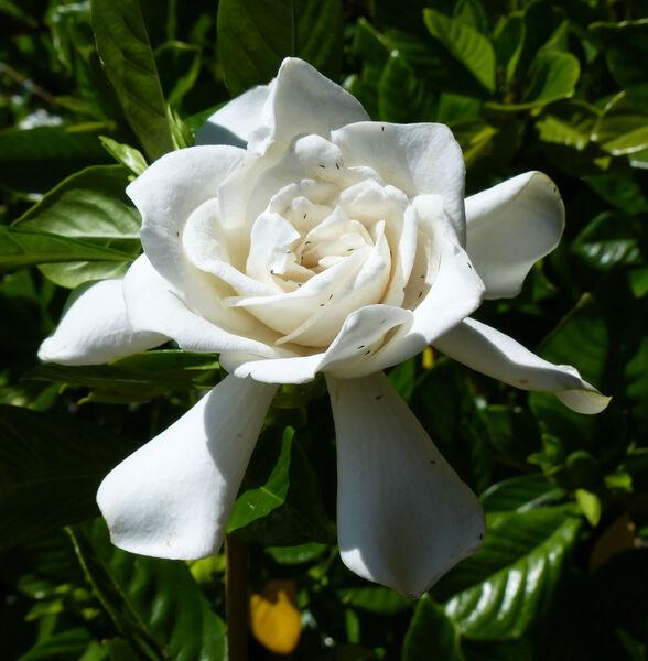 Gardenia jasminoides J. Ellis