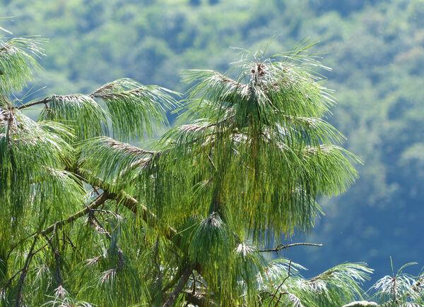 Pinus patula Schiede ex Schltdl. & Cham.