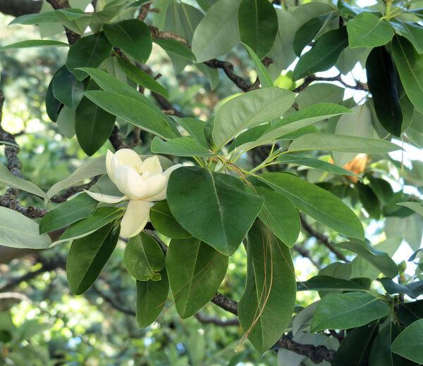 Magnolia virginiana L.