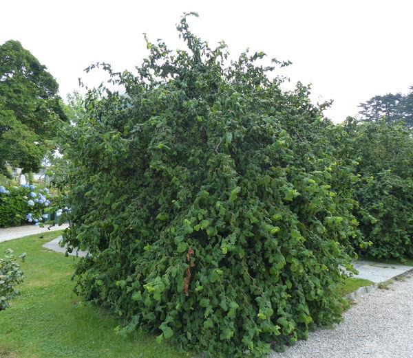 Corylus avellana L. 'Pendula'