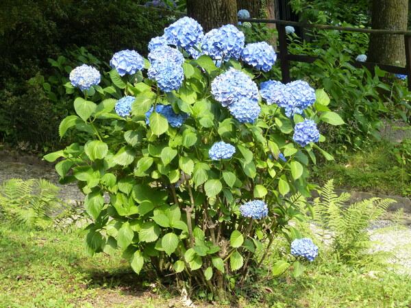 Hydrangea macrophylla (Thunb.) Ser.