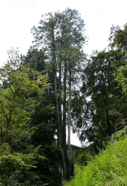 Pinus strobus x wallichiana hort.