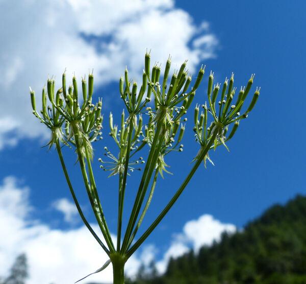 Chaerophyllum hirsutum L.