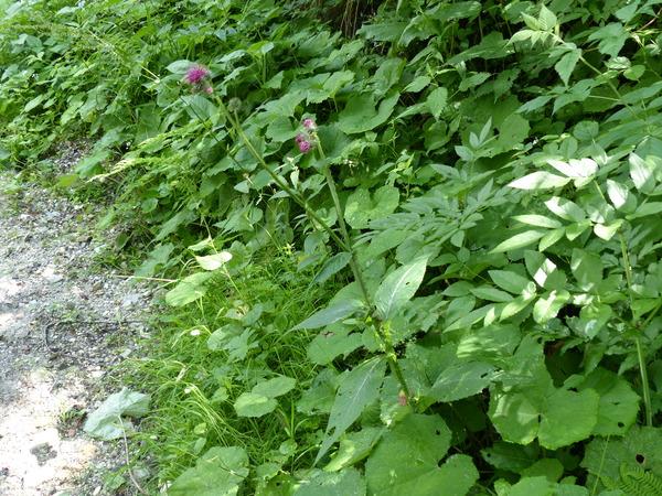 Carduus personata (L.) Jacq. subsp. personata
