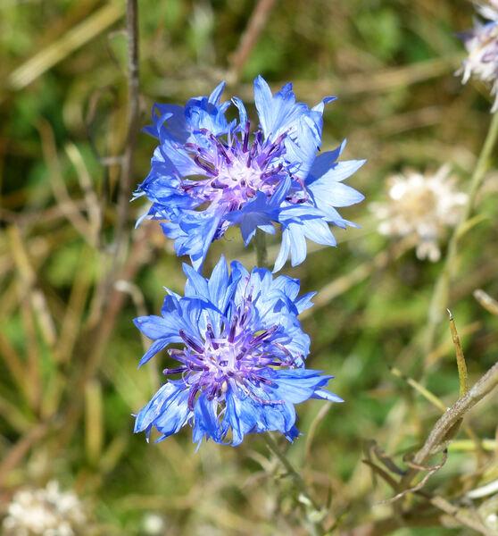Centaurea cyanus L. 'Tom Pouce'