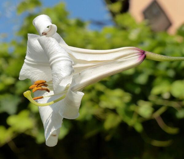 Lilium regale E.H.Wilson