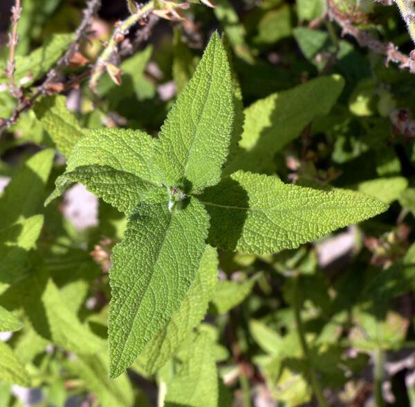 Salvia amplexicaulis Lam.