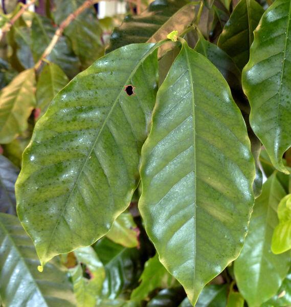 Coffea arabica L.
