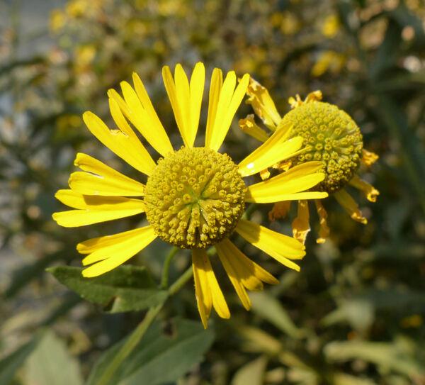 Helenium autumnale L.