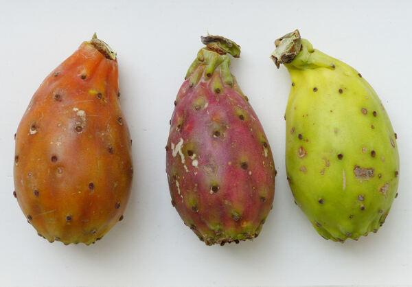 Opuntia ficus-indica (L.) Mill.