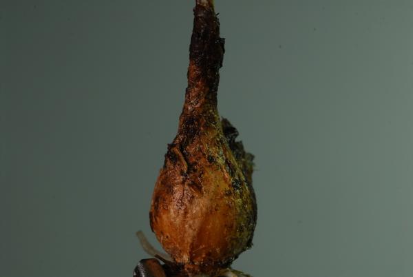 Sternbergia colchiciflora Waldst. & Kit.